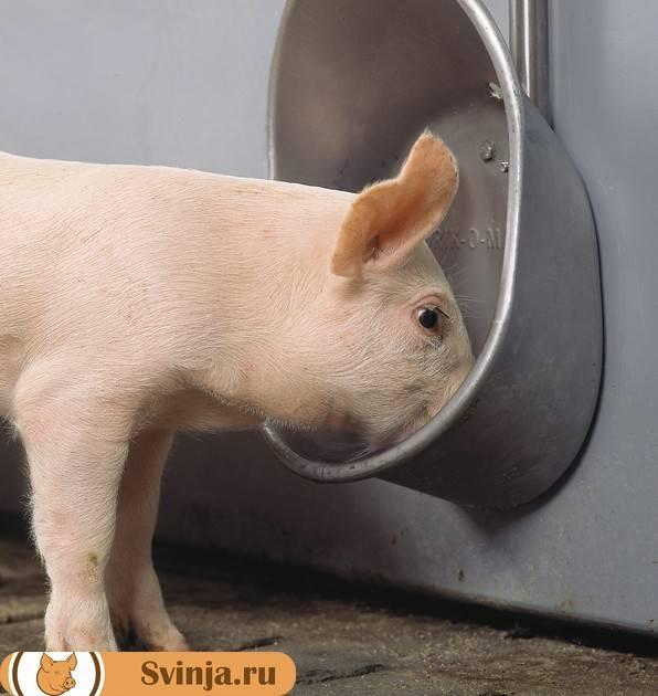 Как самостоятельно сделать удобные поилки для свиней