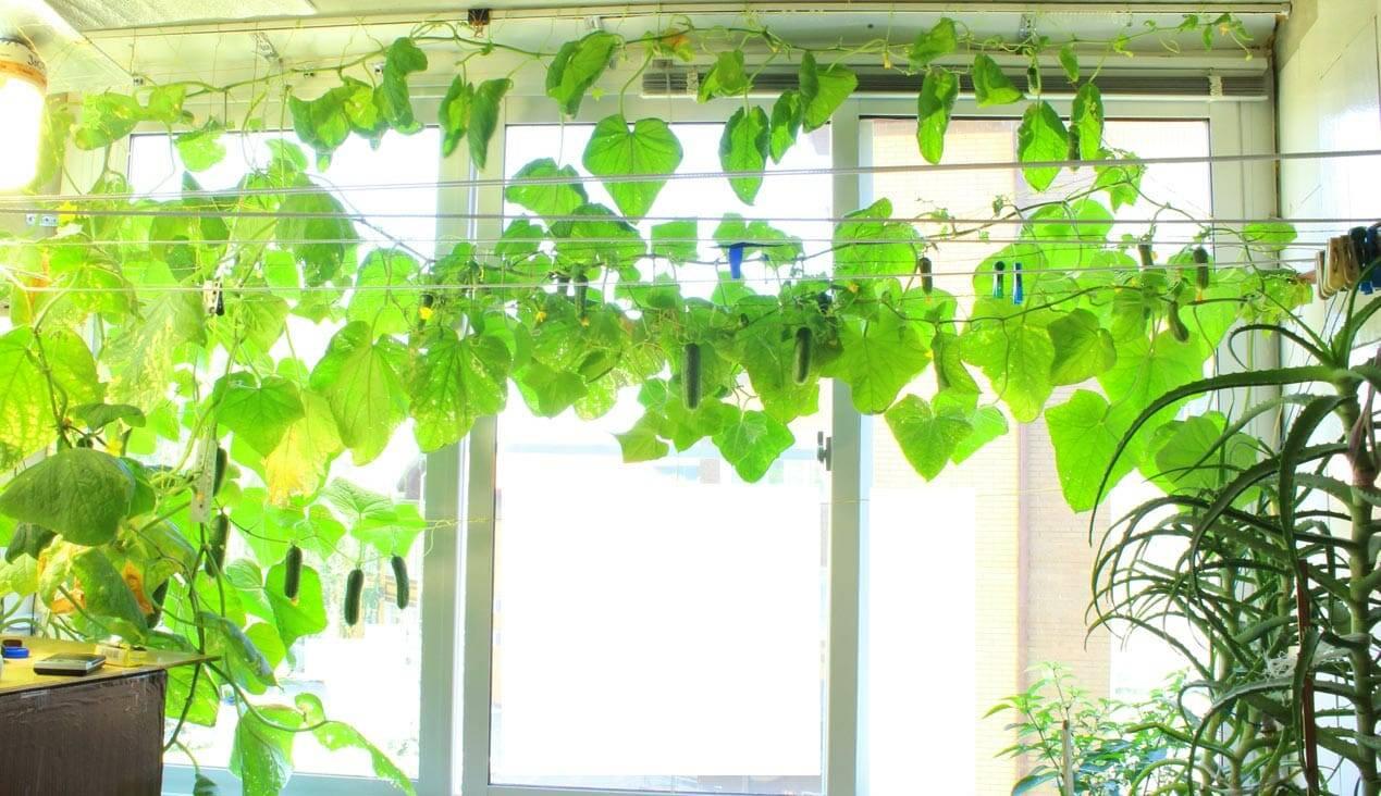 Как вырастить огурцы в квартире на окне