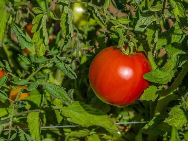 Помидоры биф: особенности и лучшие сорта