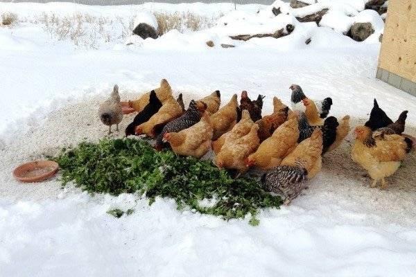 Правила обогрева и освещения курятника в зимний период