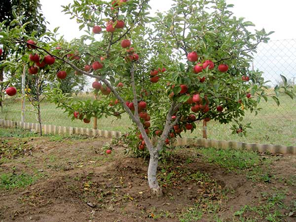 Лучшая дальневосточная яблоня абориген