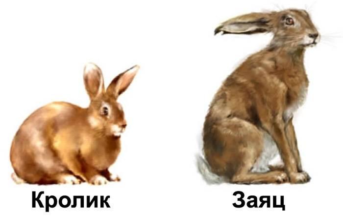 Что общего и чем отличается кролик от зайца