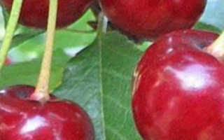 Вишня Малиновка: описание сорта и характеристики, регионы для выращивания