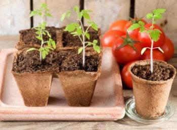 Благоприятные дни для посева помидоров на рассаду в 2020 году