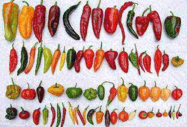 Перец «хабанеро»: особенности сорта, советы и рекомендации по выращиванию культуры
