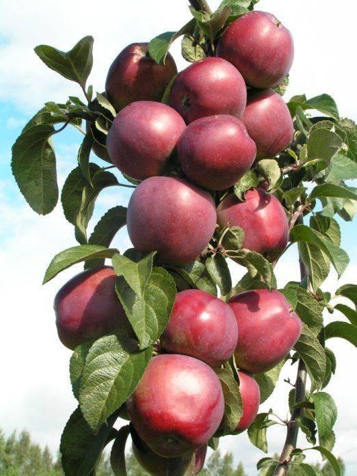 Яблоня «имант»: описание сорта, фото и отзывы