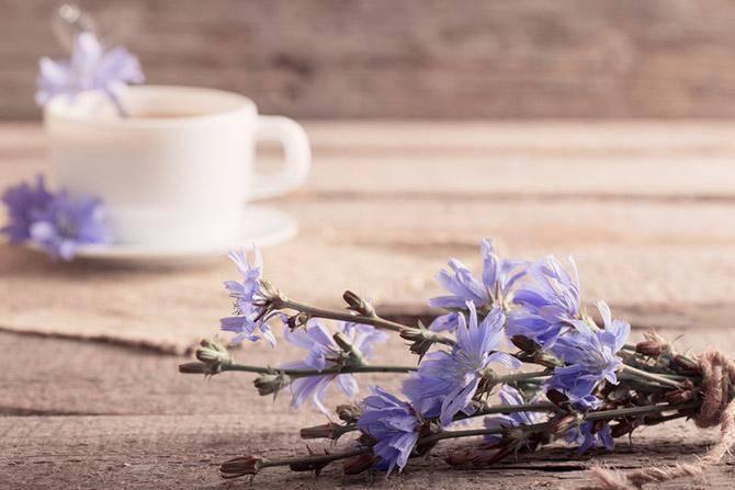 Цикорий: польза, лечебные свойства и способ приготовления