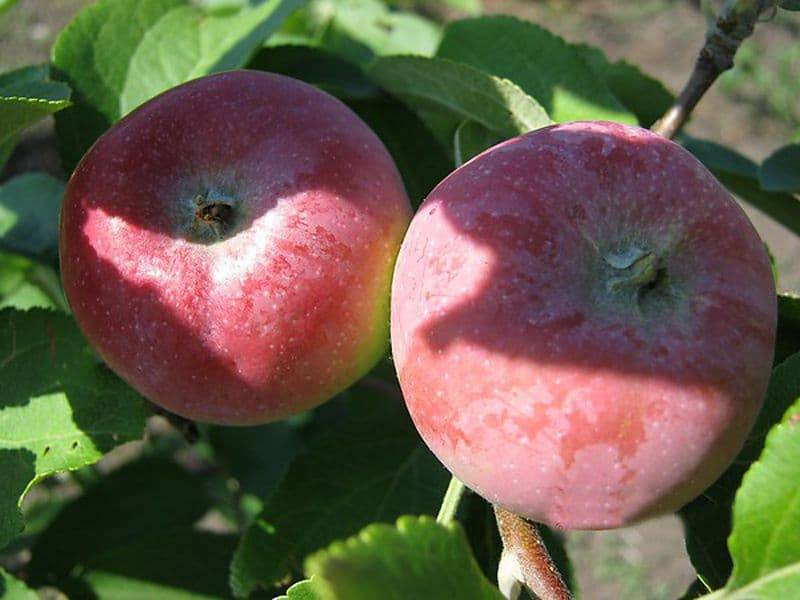 Яблоня «ковровое».