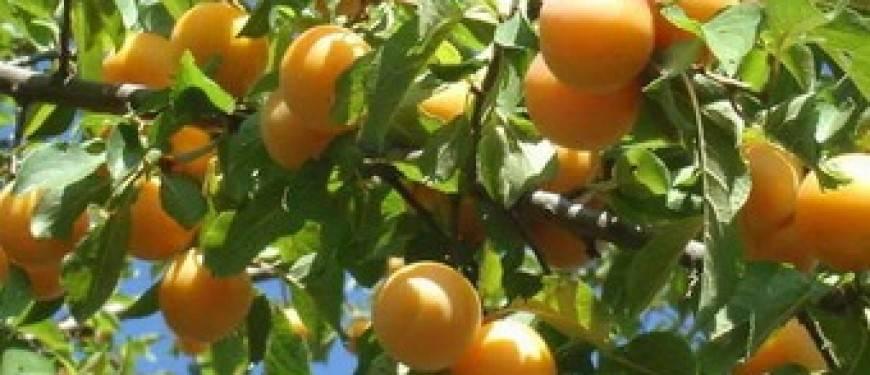 4 эффективных способа размножения сливы