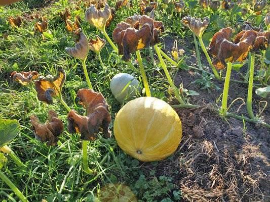Желтые листья у тыквы: причины и что делать?