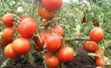 Описание сорта томата шарада, его характеристика и урожайность