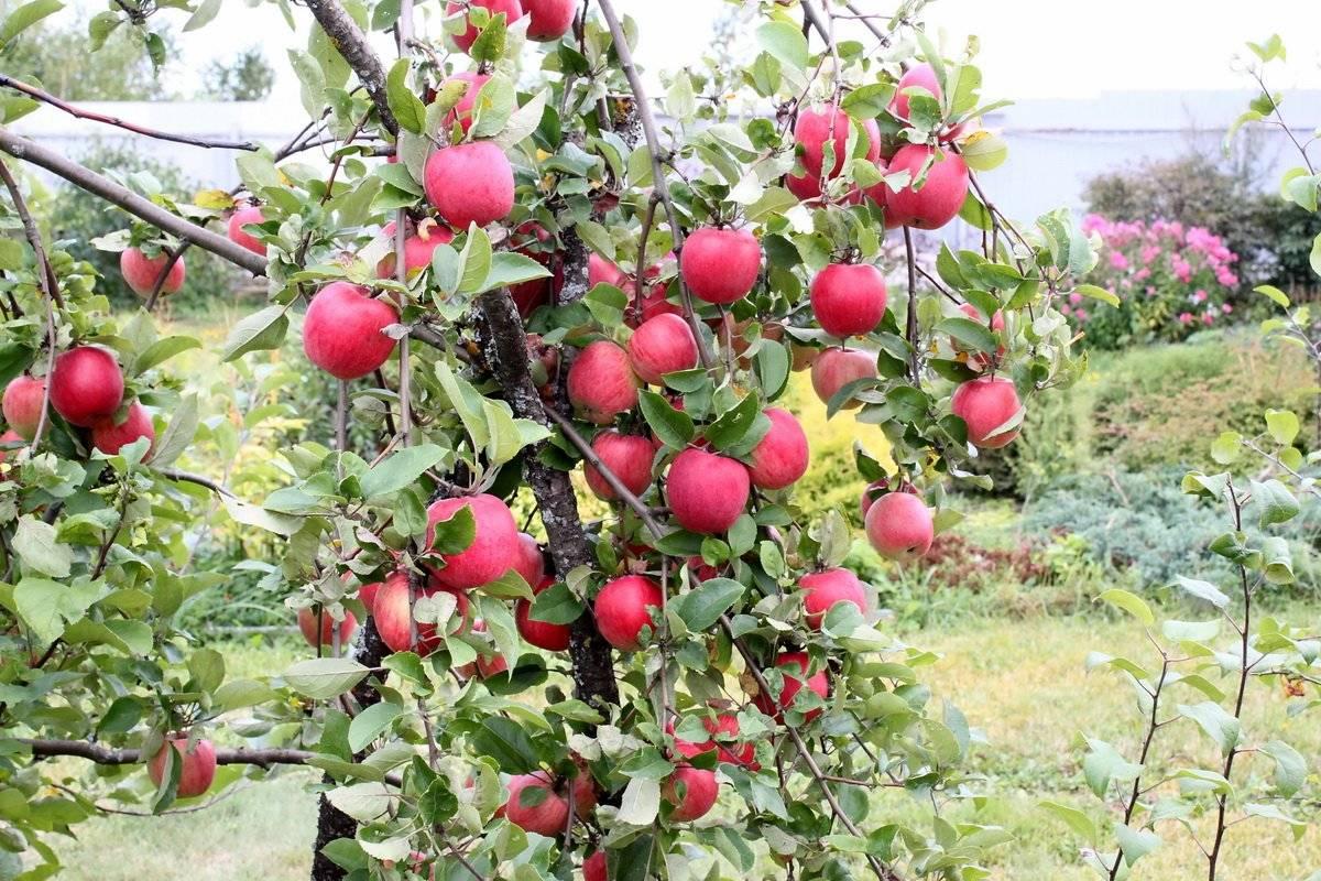 сорт яблони клубничное фото этап