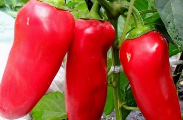 Достоинства перца воловье ухо — отзывы огородников, описание сорта