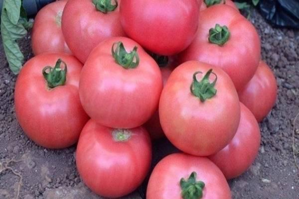 Томат верность: характеристика и описание сорта, урожайность с фото