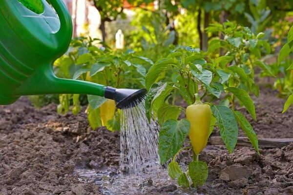 Подкормка перца после посадки в теплицу: какие удобрения и когда использовать