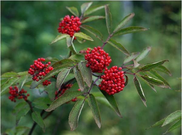 Бузина красная: полезные и вредные свойства растения, лечебное воздействие на организм