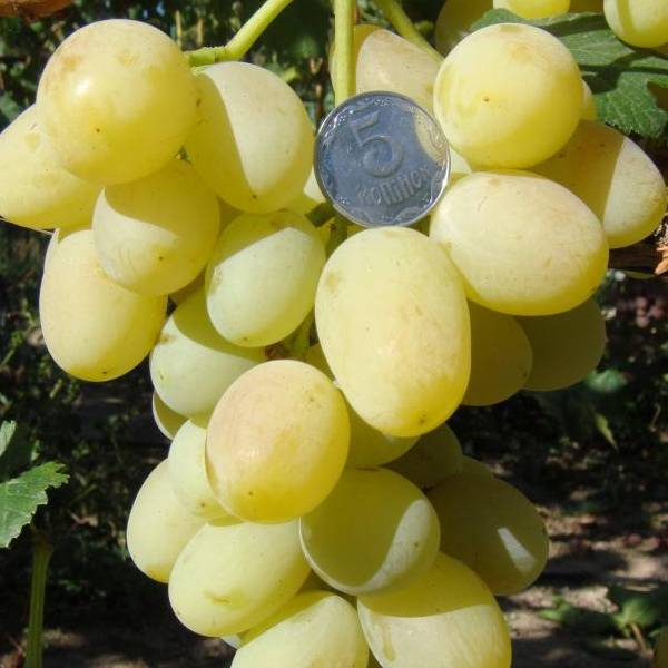 Виноград ландыш: основные характеристики, описание сорта, рекомендации по уходу