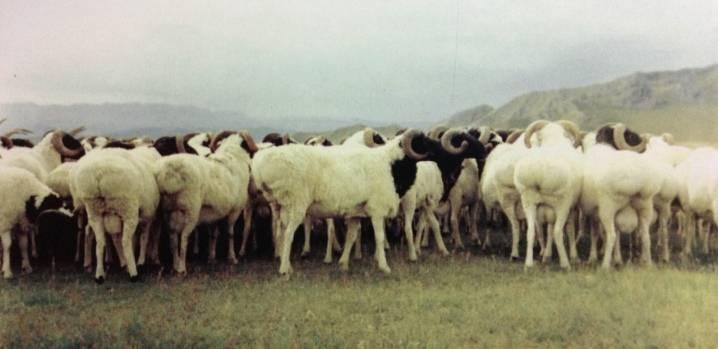 Описание пород и разновидностей овец, какие выбрать для разведения