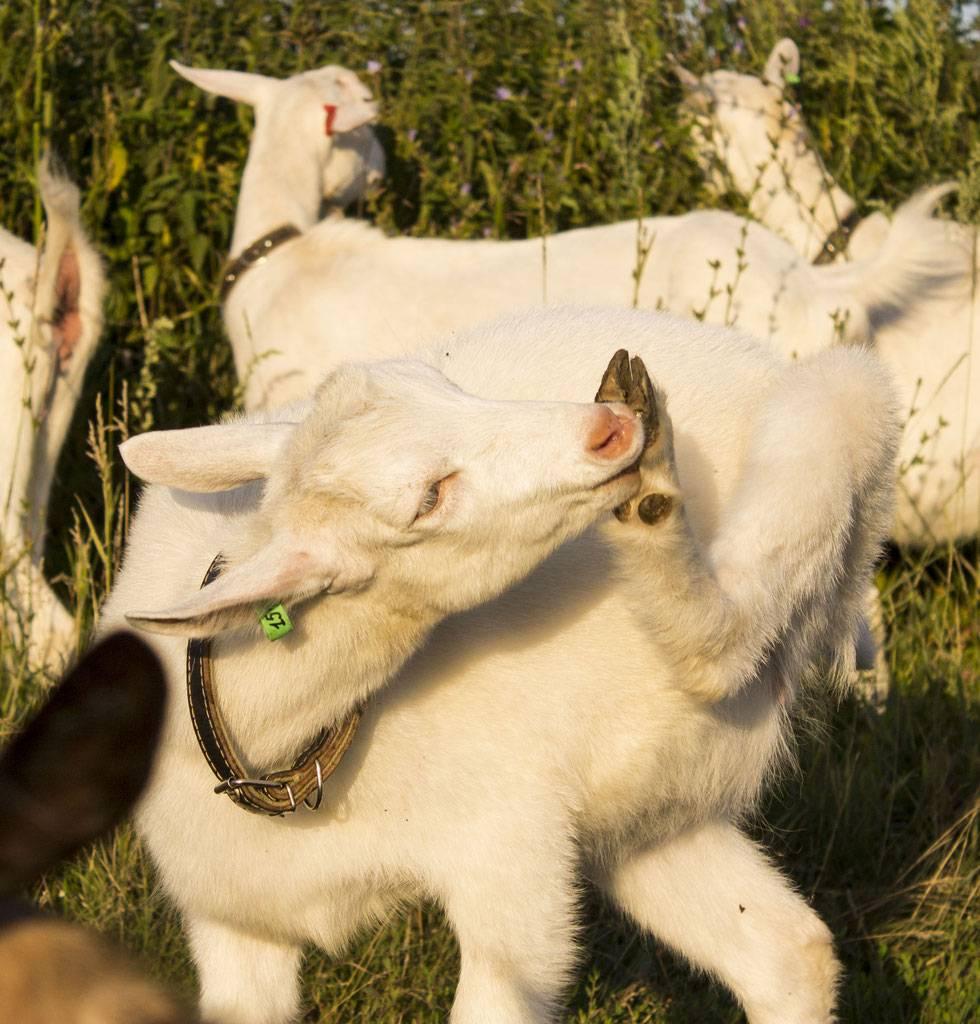 Коза после окота дает мало молока — что делать?