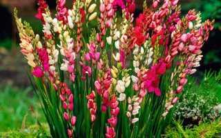 Советы садоводам: как вырастить метельчатую иксию на участке?