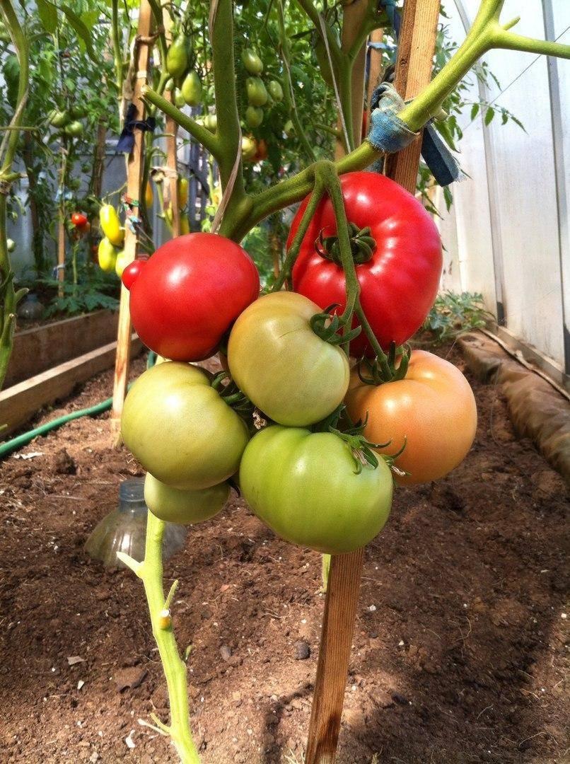 Сорт томатов «малиновка»: отзывы, описание, характеристика, урожайность, фото и видео