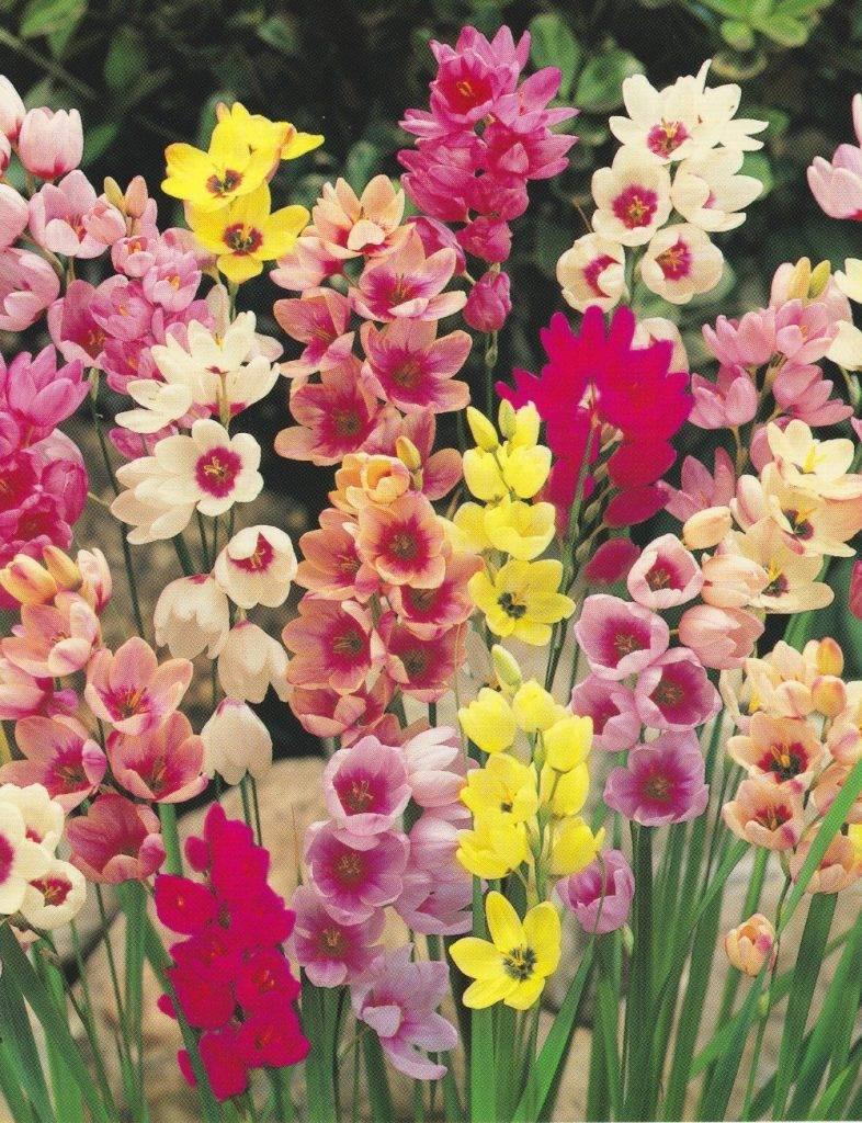 Луковичные цветы иксия: фото и сорта