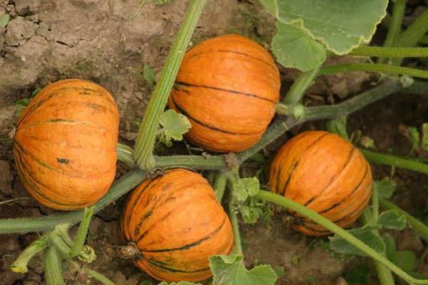 Описание тыквы сорта «лечебная». особенности выращивания