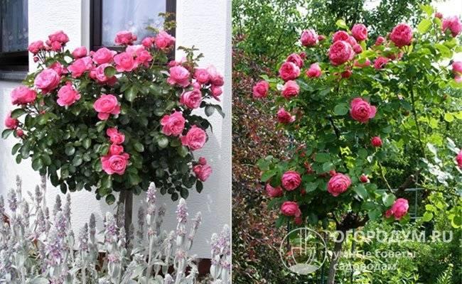 Описание сортов штамбовых роз, посадка и уход в открытом грунте