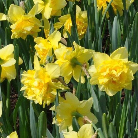 Нарциссы: посадка и уход в открытом грунте, размножение