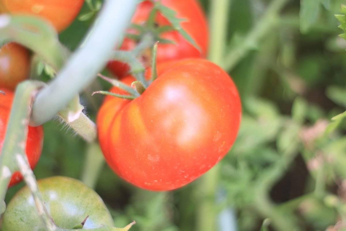 Зеленые томаты: описание и характеристика изумрудных сортов