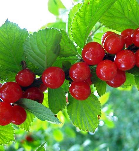 Как правильно выращивать и ухаживать за войлочной вишней чтобы она плодоносила