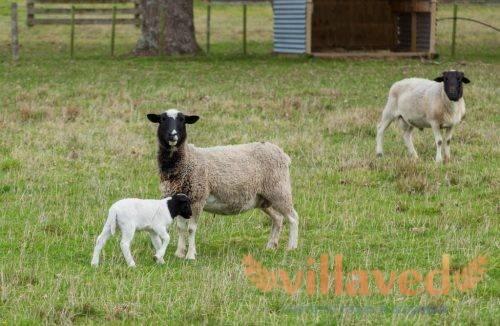 Дорпер: порода овец — содержание, уход и разведение
