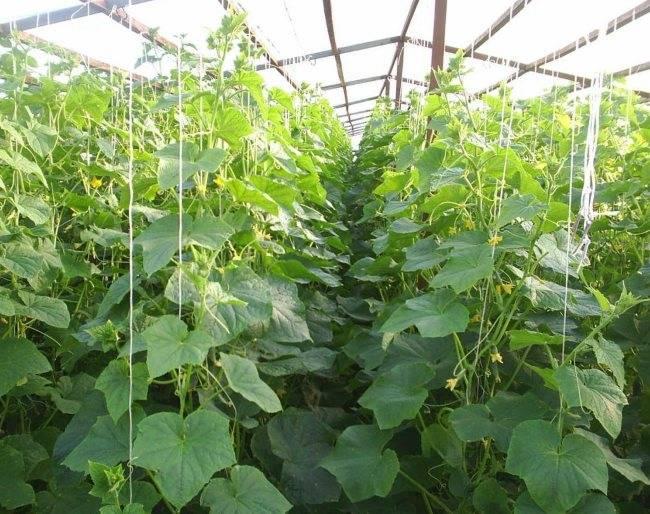Как прищипывать огурцы — полезные советы как правильно увеличить урожайность. пошаговое описание + 115 фото и видео