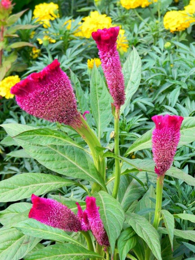 Целозия перистая: выращивание из семян в домашних условиях