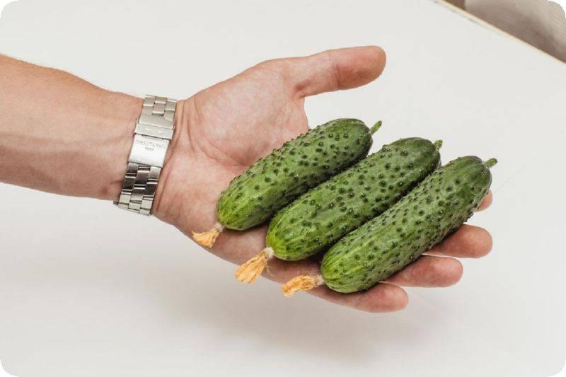 Собрать семена огурцов в домашних условиях. делимся секретами