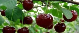 Описание и характеристики сорта вишни загорьевская, посадка, выращивание и уход
