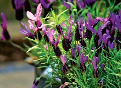 Выращивание лаванды из семян: правила посева на рассаду, ухода, пикировки