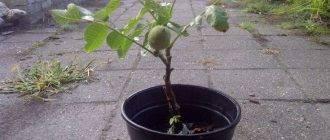 Как растет грецкий орех