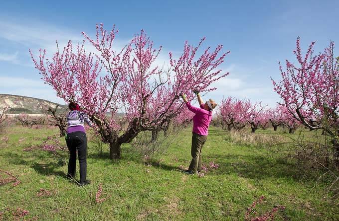 Осенняя обрезка персикового дерева: цели, задачи и технологии