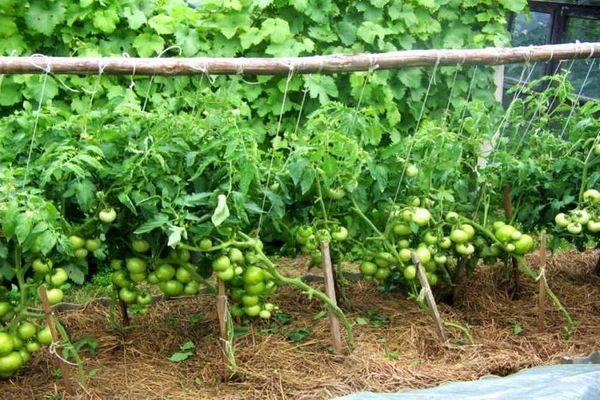 Характеристика сорта томатов генерал
