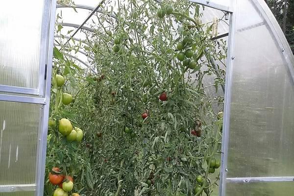7 гибридов томатов для теплиц — самые лучшие и вкусные сорта