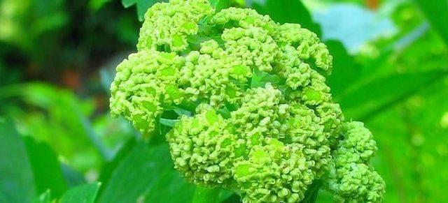 Лечебные свойства и противопоказания шелковицы, польза и вред