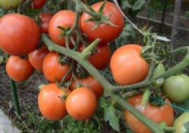 Описание сорта томата снегирь — как поднять урожайность