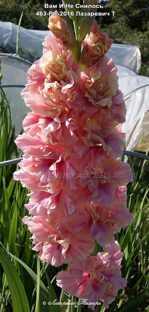 Почему конец июля не цветут гладиолусы. почему не цветет гладиолус