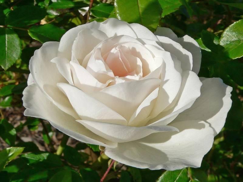 Роза компешн (compassion) — описание сорта