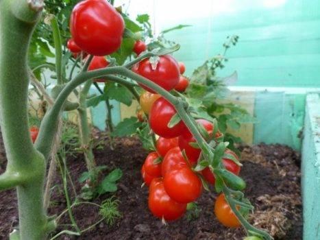 Всё об успешном выращивании томатов бычье сердце: любимом сорте розовых помидоров
