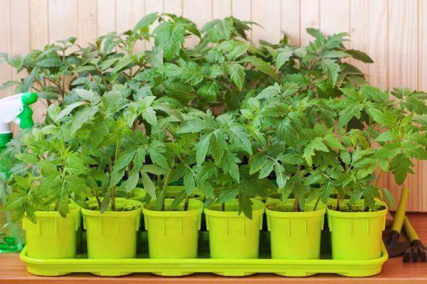 Описание сорта томата Новосибирский хит, особенности выращивания и уход