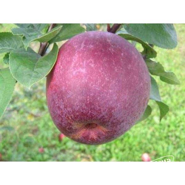 Яблоня сорта лобо – канадский сувенир