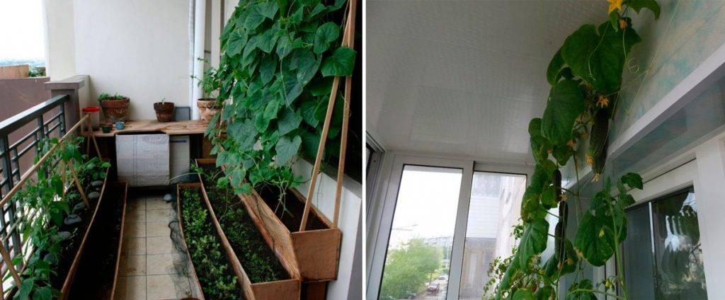 Огород на балконе – пошаговое выращивание клубники и огурцов