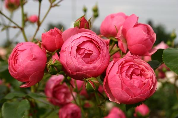 Лучшие сорта роз для цветника в саду с фото и названиями